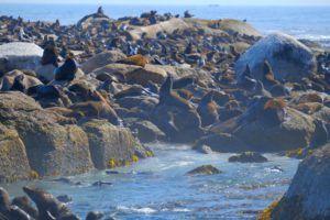 Leones marinos de Duiker Island, qué ver en la Península del Cabo