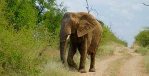 Elefante áfricano en Hlane Royal National Park, Suazilandia (Esuatini)