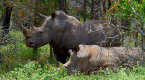 Rinocerontes Blancos en Hlane Royal National Park, Suazilandia