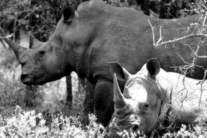 Rinocerontes en Hlane Royal National Park, Suazilandia (Esuatini)