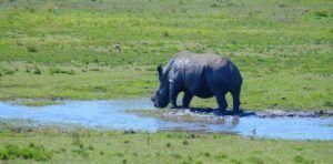 Rinoceronte en Sección Oeste de Isimangaliso