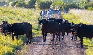 Una manada de Bufalos