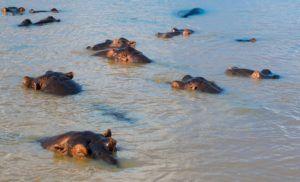 Hipopotamos en Santa Lucia, Sudáfrica