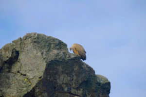 Buitre en el Mirador del Salto del Gitano, Monfragüe